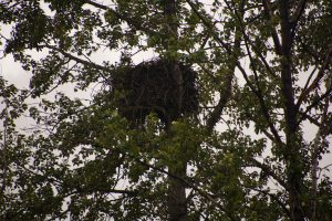 The 600-lb eagle's nest