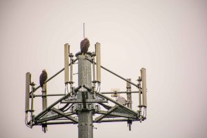 Eagles on the cell tower Sitka