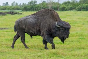American Wood Bison