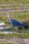 Heron, Great Blue; white bird unknown