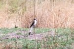 Shrike, Grey-backed