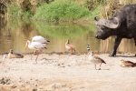 Stork, Yellow-billed; Goose, Egyptian; Stilt, Black-winged; Plover, Blacksmith