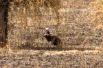 Vulture, Lappet-faced