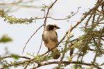 Shrike, Northern White-Crowned