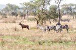 Topi compared to zebra