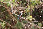 Kingfisher, Gray-headed