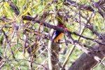 Kingfisher, Pygmy