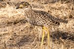 Thick-knee, spotted