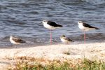 Stilt, Black-winged; Ruff