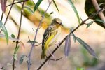 Weaver, Yellow-backed female or juvenile
