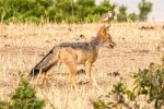 Jackal with Crowned Plover (Lapwing) in the distance