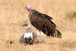Vulture, Lappet-faced; Vulture, White-backed