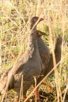 Spurfowl, Red-necked