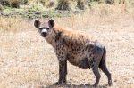 A very pregnant hyena