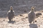 Sand Grouse, Yellow-throated