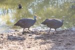 Guinea Fowl, Helmeted