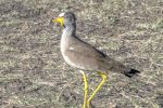 Plover, African Wattled (Lapwing)